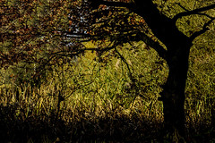 Autumn leaves (Chris Hamilton Photography) Tags: d5100 nature tree autumn leaves flickr pattern abstract