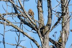 2017 Lark Sparrow 6 (DrLensCap) Tags: temecula california lark sparrow ca bird robert kramer