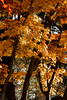 IMG_1651 (Matthew_Li) Tags: red leaf japan maple leaves
