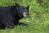 Sneezy (Seventh day photography.ca) Tags: blackbear bear animal mammal nature wildanimal wildlife predator ontario canada summer chrismacdonald seventhdayphotography sow female