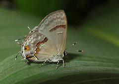 Rubroserrata ecbatana (Camerar 4 million views!) Tags: butterfly lycaenidae peru rubroserrataecbatana butterflies insect