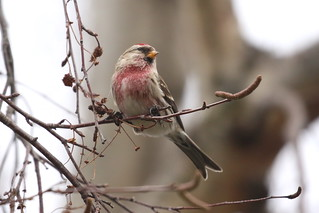 Common Redpoll - Florence St, Victoria BC