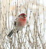 House Finch - male (mahar15) Tags: housefinch finch bird nature wildlife malehousefinch