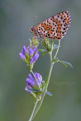 Dydima su alfaalfa (Raffaella Coreggioli ( fioregiallo)) Tags: macro lepidotteri natura nikon fioregiallo2009 fioregiallo fotografia farfalle flora fiori fioregiallophoto melitaea