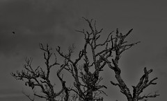 Dead Birch And Crow (Rob Singfield) Tags: birch tree crow blackandwhite monochrome kemnay aberdeenshire scotland