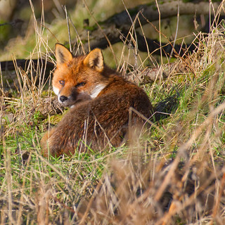Red Fox ~ Explored