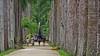 Avenue of Palms. Botanical Gardens, Rio de Janeiro, Brazil (jaytee27) Tags: botanicalgarden riodejaneiro royalpalms grouptripod