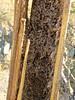 Saguaro Skeletal Remains-5 <<>> IMG_0243 - Version 2 (Chic Bee) Tags: cactus saguaro ribs remains nedharris sabinocanyon sabinocanyonvolunteernaturalists guides naturewalk 20180131 tucson arizona southwesternusa americansouthwest america nature walking