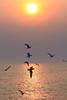 BP_7483S (vandepoy) Tags: sea sunset sky ocean birds seagull landscape wildlife sunrise fly flying freedom nature thailand bangpu