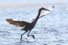 Reddish egret (dbarlow) Tags: reddish egret heron bird
