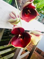 Catasetum tapiriceps x Penang  'Antonio' (F.Setembrino) Tags: orquídea orchid catasetum fernando