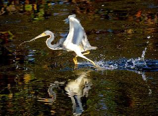 Wakodahatchee wetlands S Florida 02Feb18.01