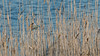 IMG_3544-1 (EDFOT30) Tags: mesange bleue roseaux bird blue eau camargue france canon eos70d