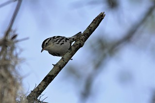 Black and White Warbler (Mniotilta varia)