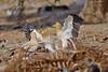 The Dispute... (Anirban Sinha 80) Tags: nikon d610 fx 500mm f4 ed vrii n g bokeh bird vulture egyptian beak wing fight carcass