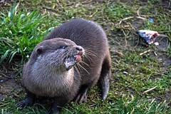 Asian Short Clawed Otter (nickym6274) Tags: asianshortclawedotter otter aonyxcinerea woburnsafraipark woburn bedfordshire uk herring grass