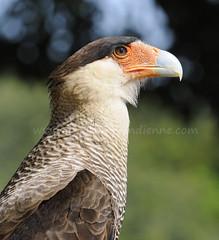 caracara huppé (pguiraud) Tags: sergeguiraud caracara jabiruprod brésil brasil amazonie amazon amazonia oiseaux birds aves faune pantanal