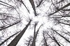 Which one the highest? (Tery14) Tags: forest larch trees canopy
