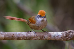Rufous-capped Spinetail - Brazilian Birds - Species # 237 (Bertrando©) Tags: rufouscappedspinetail pichororé synallaxisruficapilla aves birds pássaros natureza nature wildlife birding birdwacher birdwaching brasil brazil brazilianbirds naturalworld naturalbeauty bertrando campos