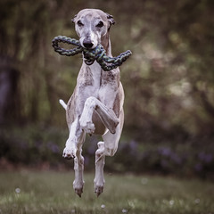 my whippet Kermit (Bea Antoni) Tags: loveyourpetday canon fun haustier pet action sighthound windhund whippet hund dog