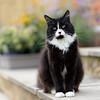 My turn (hehaden) Tags: cat female blackandwhite tuxedo semilonghair step garden flowers summer square
