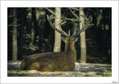 Ojos que no ven... (V- strom) Tags: ciervo deer texturas textures concepto concept fauna cuernos horns nikon nikond700 nikon70300 luz light recuerdo memory viaje travel naturaleza nature monte wood vstrom árbol tree madera animal