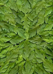 58788.01 Xanthorhiza simplicissima (horticultural art) Tags: horticulturalart xanthorhizasimplicissima xanthorhiza leaves starburst