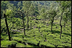Iyerpadi Tea Estate (Indianature st2i) Tags: iyerpadi valparai anamalais anamallais anamalaitigerreserve westernghats tea shola rainforest nature indianature 2018 january february tamilnadu india life wildlife plantation forest people estate