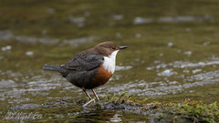 Dipper (NikonNigel) Tags: copyright©nigelcox copyrights places wales dipper