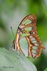 Malachietvlinder (Rene Mensen) Tags: mariposa butterfly vlinder vlindertuin burgers zoo arnhem rene mensen d5100 nikon nikkor malachietvlinder
