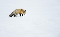 Red Fox Hunting (Markp33) Tags: red fox yellowstone wildlife