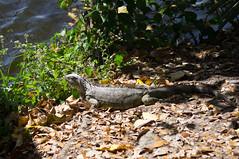 Wakodahatchee 2018-147 (slick.sue) Tags: iguana delraybeach florida unitedstates us