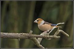 _DSC0084_Grosbec casse-noyaux (patounet53) Tags: coccothraustescoccothraustes fringillidés grosbeccassenoyaux hawfinch passériformes bird oiseau