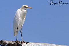 Wildlife @ Pulicat Lake, India (rvk82) Tags: 2018 birdsanctuary birds february february2018 india nikkor200500mm nikon nikond850 pulicat pulicatbirdsanctuary pulicatlake rvk rvkphotography raghukumar raghukumarphotography southindia tamilnadu wildlife rvkonlinecom rvkphotographycom andhrapradesh in