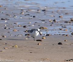 Dunlin on the beach (Katy Wrathall) Tags: 2018 eastriding eastyorkshire england february fraisthorpe beach bird coast dunlin sea wader winter