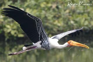 Painted Storks @ Vedanthangal Bird Sanctuary, India