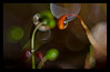 long neck (pete ware) Tags: sporophyte water droplet longneck macro extensiontubes afnikkor50mmf18d ringflash neewerringlite flashheldoffcamera peteware