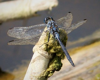 Long Skimmer. mature male. Orthetrum trinacria