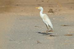 Cattle egret (David Lev) Tags: nirim bird