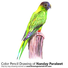 Nanday Parakeet with Color Pencils [Time Lapse] (drawingtutorials101.com) Tags: nanday parakeet aratinga nenday blackhooded conure parrots parakeets conures sketch sketches sketching color pencil drawing drawings how draw timelapse video speed