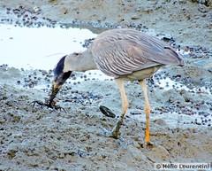 Savacu-de-coroa (Yellow-crowned Night-Heron) (Helio Lourencini) Tags: savacudecoroa yellowcrownednightheron savacu nyctanassaviolacea recife