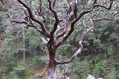 A small manzanita tree airs its red branches (rozoneill) Tags: rogue river trail blm medford grants pass galice whiskey creek cabin graves rainey falls rapids oregon hiking rainie