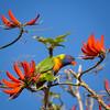 Rainbow lorikeet (Mariasme) Tags: squarecrop rainbowlorikeet coraltree red challengeyouwinner cyunanimous seasons spring matchpointwinner mpt606