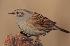 Passera Scopaiola (Prunella Modularis) (Marcello Giardinazzo) Tags: passerascopaiola prunellamodularis birds bird natura wild uccelli avifauna