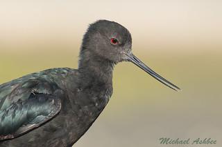 Black Stilt (Himantopus novaezelandiae)