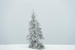 Solitaire (Samuel Raison) Tags: hautsplateauxduvercors vercors sapins hiver neige gel winter cold ice paysage landscape scenery froid montagne mountain nikon nikond3 nikon4200400mmafsgvr