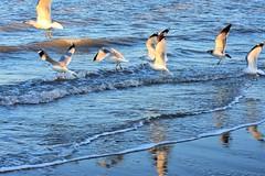 Last sunlight of the day (thomasgorman1) Tags: birds gulls seagull seagulls nature flight flying wings shore coast sea ocean beach nikon tide sand