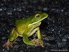White-lipped tree frog - Litoria infrafrenata (paulajie) Tags: whitelipped tree frog litoria infrafrenata tropical queensland australia cairns wildlife nature fauna olympus omd omdem1markii amphibian herp herpetology herping