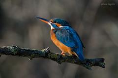 Kingfisher Profile (lucazagolin) Tags: animals bird italy kingfisher magicmoments nature veneto wildife 7dwf