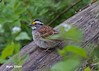 6155 White-throated Sparrow (vtbirdhouses) Tags: whitethroatedsparrow